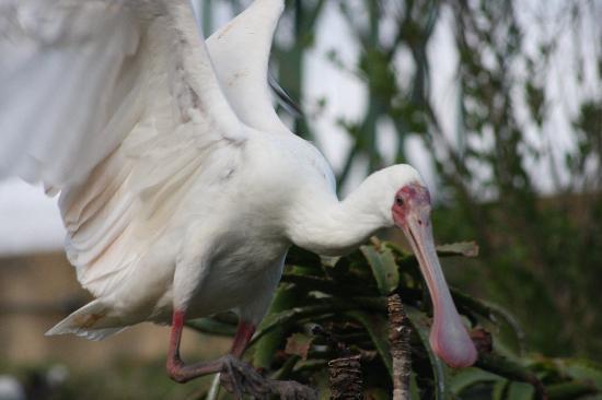Birds of Eden: African Spoonbill