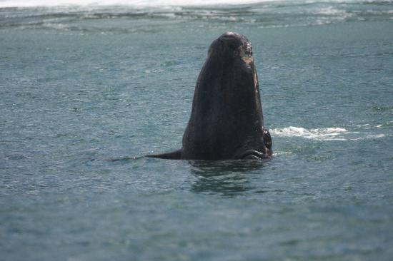 Ocean Blue: Spy hopping southern right whale
