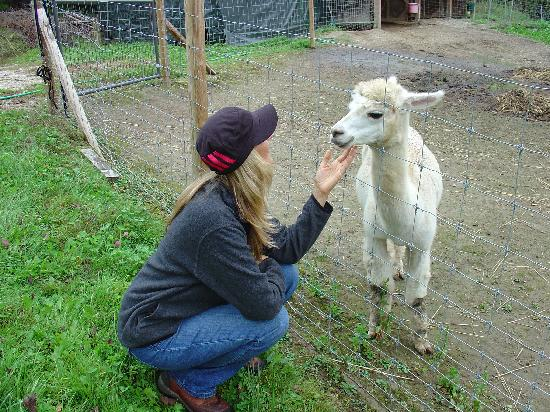 Royalsborough Inn at Bagley House: A friendly alpaca named Brutus :-)