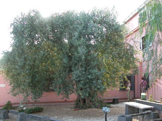Agriturismo dell'Etna: l'ulivo pluricentenario