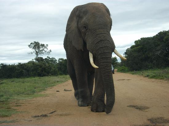 Addo Rest Camp: der Elefant!