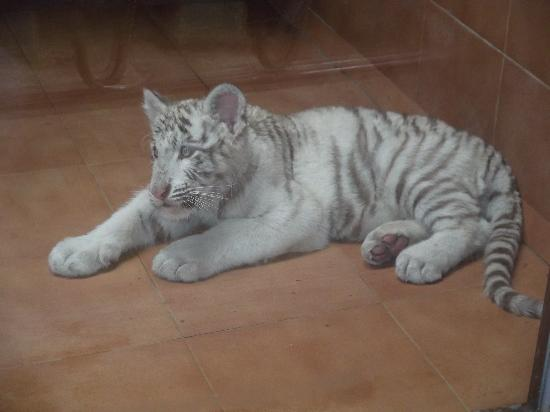 Rancho Texas Lanzarote Park : Baby white tiger - Rancho Texas