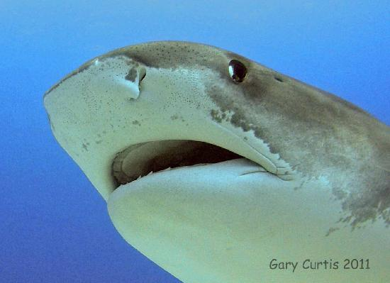 Jim Abernethy's Scuba Adventures: Portrait of Emma,14' Female Tiger Shark