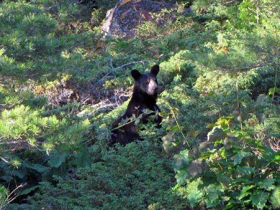 Massasauga Provincial Park : Black Bear on Wreck Island