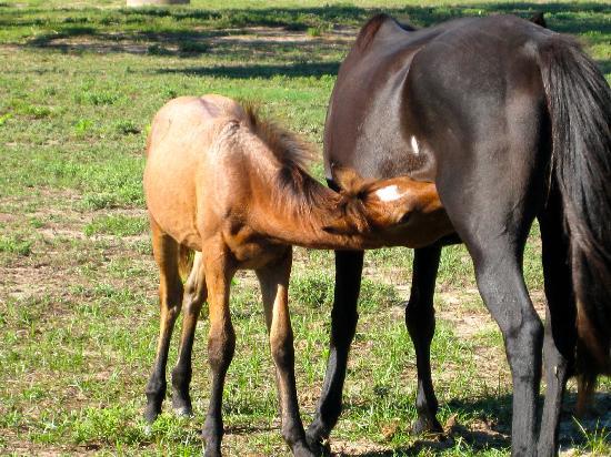 Cumberland Island National Seashore: Cumberland Island Horses