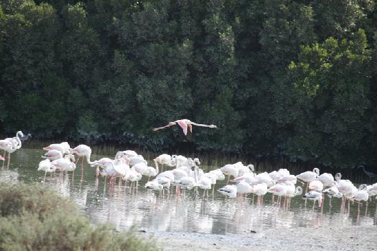 Ras Al Khor Wildlife Sanctuary: in flight...