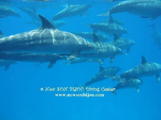 New Son Bijou Diving Center: dolphins, dolphins, dolphins...diving with big group of dolphins - www.newsonbijou.com -