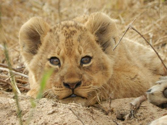 Inyati Private Game Reserve, Zuid-Afrika: Lion cub  in the river bed near Inyati