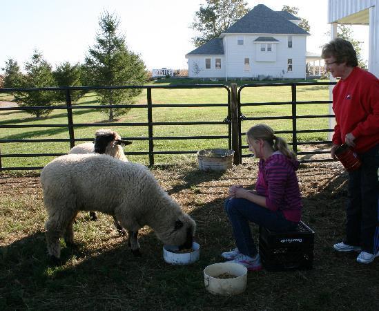 Grannys Farm Bed & Breakfast: Feeding the Lambs
