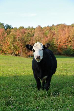 Windy Hill Bed & Breakfast: Cow on the farm
