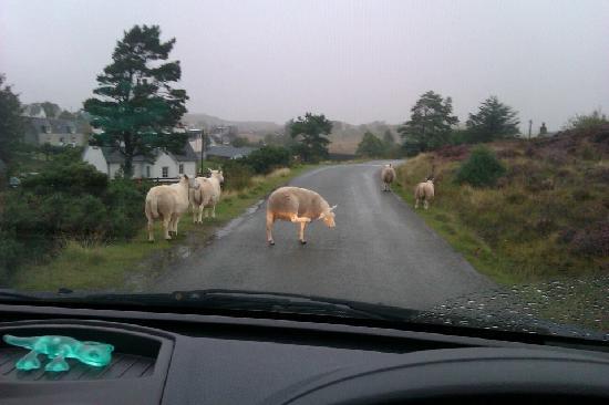 Balmacara Mains Guesthouse: sheep everywhere!!
