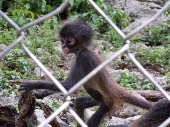 Baby Spider Monkey Picture Of Aktun Chen Akumal