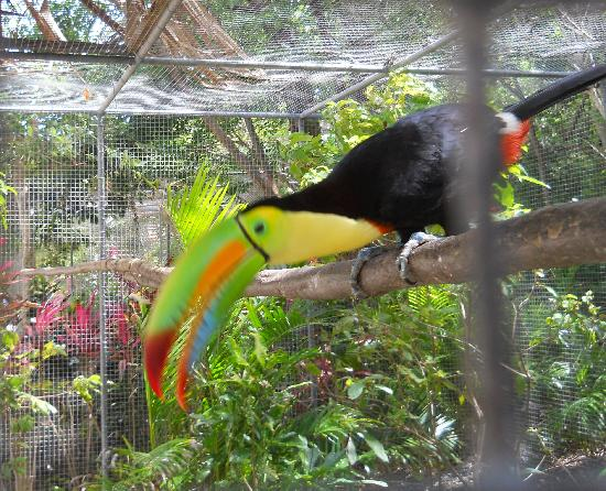 ‪‪Anthony's Key Resort‬: rescued Toucan at Maya Key‬