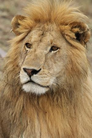 Porini Lion Camp: simba