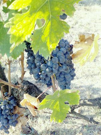 Tenuta di Spannocchia: Grapes on the vine