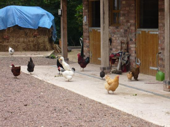 The Old Rectory Bed and Breakfast: Chicken Mayhem = Fresh Eggs :-)