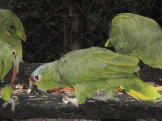La Mariposa Spanish School and Eco Hotel: Some of our chirpy parrots!