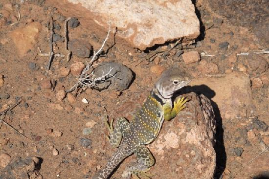 Wupatki National Monument: Collared lizard--he and a few thousand of his cousins are everywhere!