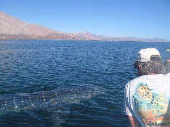Baja AirVentures Las Animas Wilderness Lodge: Whalesharks visible, even if you elect not to swim with them