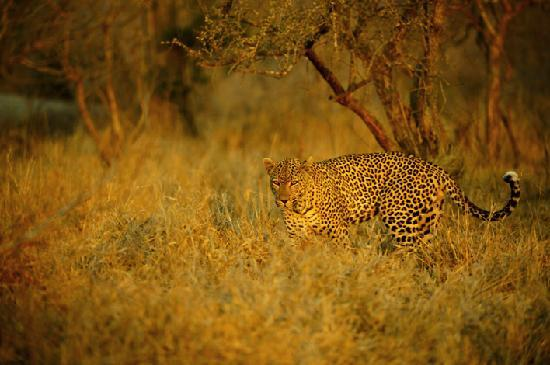 Vuyatela Lodge & Galago Camp: Leopard in the rays of the setting sun