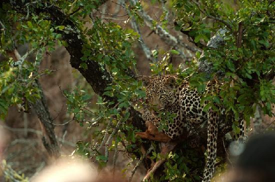 Vuyatela Lodge & Galago Camp: Leopard with prey