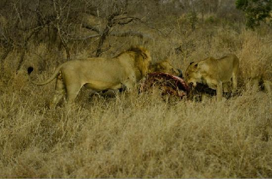 Vuyatela Lodge & Galago Camp: A lion pride on their buffalo kill