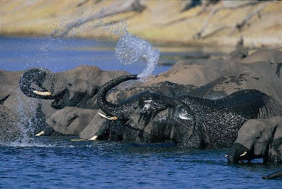Chobe National Park, Botsvana: The famous Chobe elephants drinking close to the lodge