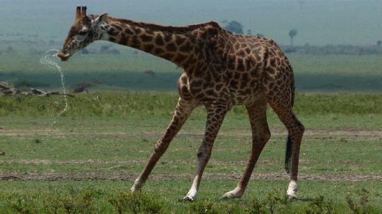 Natural World Kenya Safaris: slurping giraffe in mara