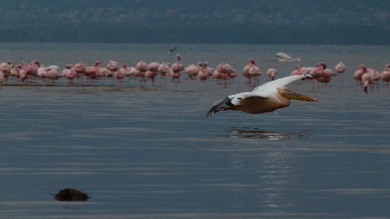 Natural World Kenya Safaris: pelican at Lake Nakuru