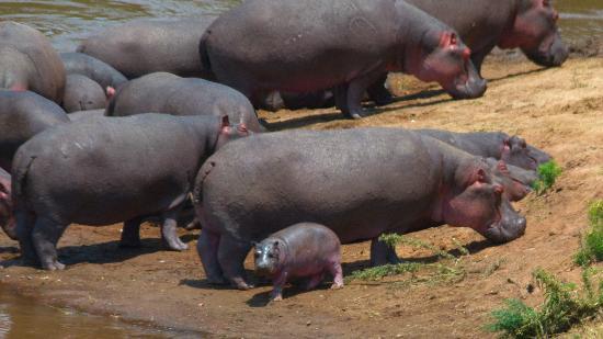Natural World Kenya Safaris: baby hippo