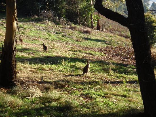 Melaleuca Mountain Chalets: kangaroo's grazing
