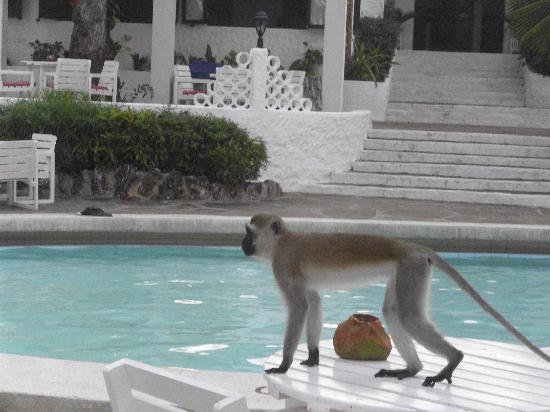Diani Sea Lodge: Cheeky Monkeys