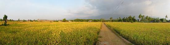 Kubu Lalang: golden paddy field