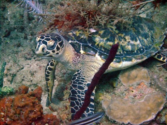 Grand Anse, Grenada: Turtle in Flaming Bay