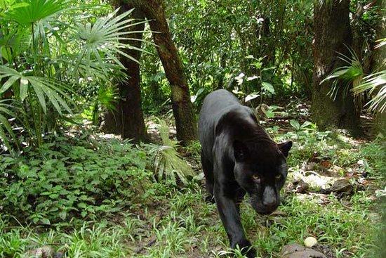 UpClose Belize: Wildlife - the Jaguar