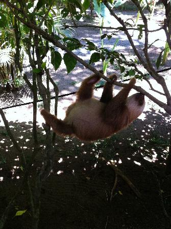 Jaguar Rescue Center: baby two-toed sloth hanging around