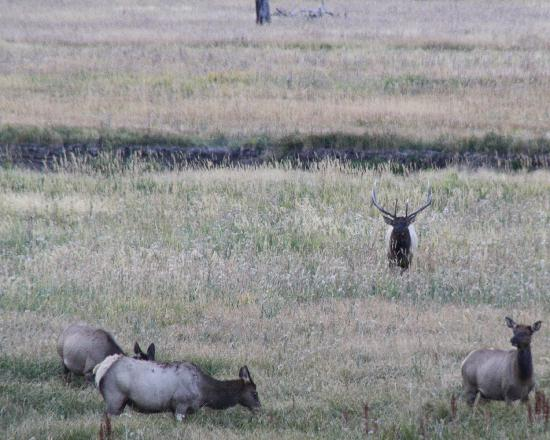 BrushBuck Wildlife Tours: A bull elk tends his harem in Yellowstone National Park....