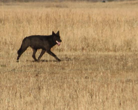 BrushBuck Wildlife Tours: A  black wolf hunts in Grand Teton National Park.......