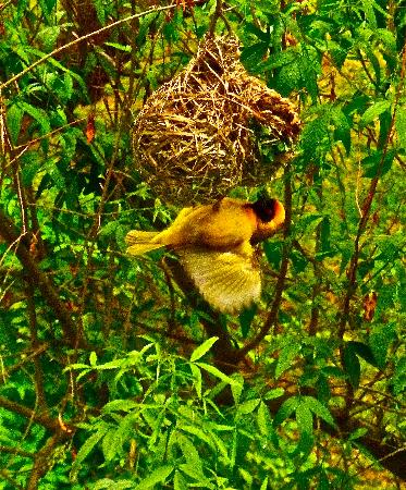 Vanderbijlpark, South Africa: Weaver birds outside the room - best part of the stay.