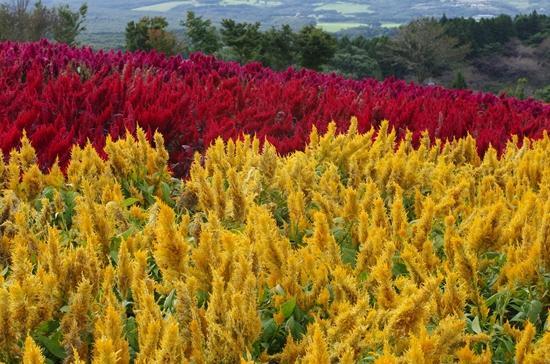 Nasu Flower World: ケイトウ
