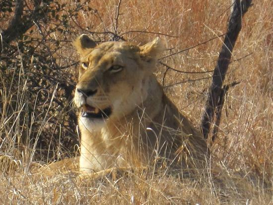Tremisana Game Lodge: A lioness in Kruger early one morning