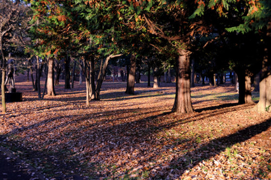 Fuchunomori Park : 針葉樹の道です。