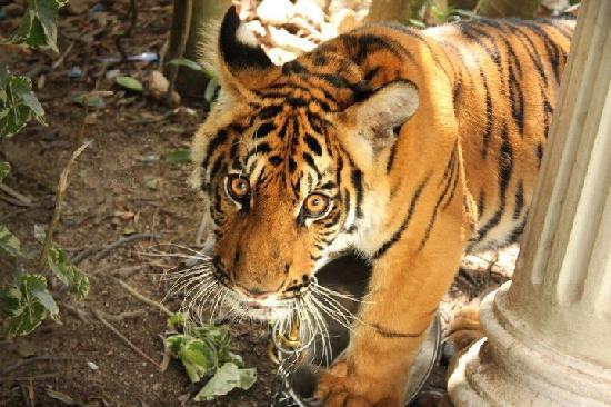 Phuket Zoo: Tiger Cub