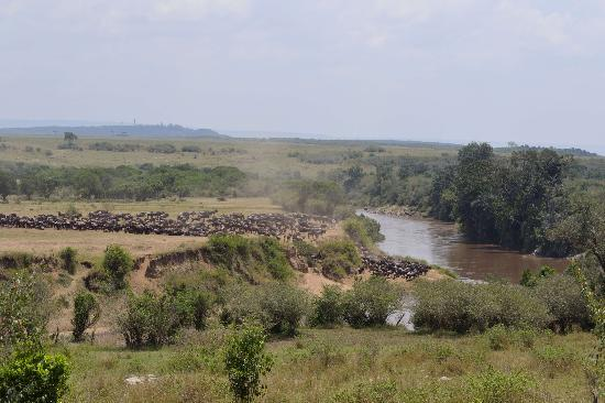 Wildebeest about to cross outside Entim camp