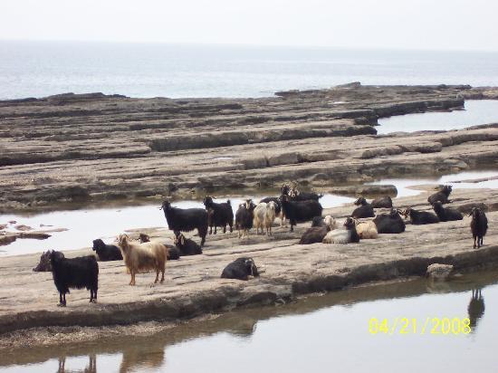 Gazipaşa, Türkiye: goats going for their daily walk in winter