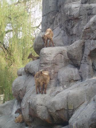 Taronga Zoo: mountain goats