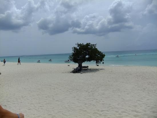MVC Eagle Beach: Divi tree on Eagle beach