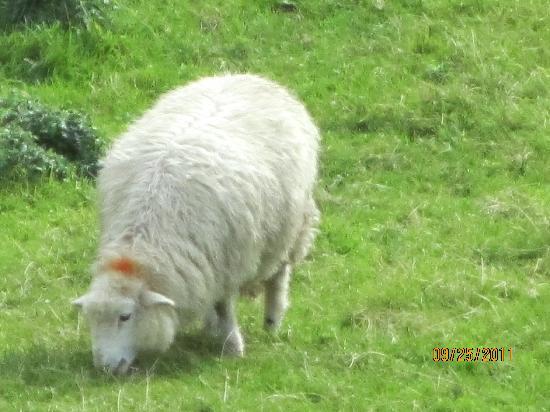 Heulwen Guest House: A grazing sheep.