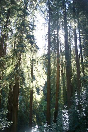 Muir Woods National Monument: looking up through the trees in the morning