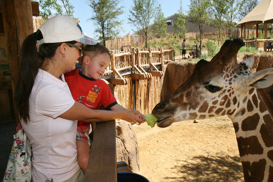 Dallas Zoo: Come eye to eye with a giraffe as you feed them!